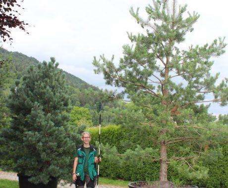 18-Pinus